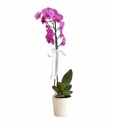 Tekli Mor Orkide